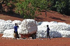 The cotton harvest Royalty Free Stock Image