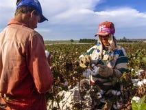 Cotton harvest Stock Photography