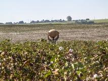 Cotton harvest Royalty Free Stock Photo