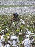 Cotton harvest Royalty Free Stock Photos
