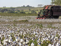 Cotton Harvest. SAO PAULO, BRAZIL, MAY 10, 2005. A cotton field is being picked during the fall harvest Royalty Free Stock Image
