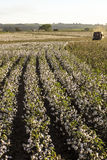 Cotton Harvest. SAO PAULO, BRAZIL, MAY 10, 2005. A cotton field is being picked during the fall harvest Royalty Free Stock Photos