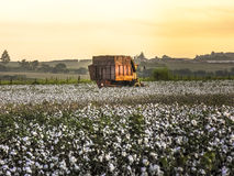 Cotton Harvest. SAO PAULO, BRAZIL, MAY 10, 2005. A cotton field is being picked during the fall harvest Stock Photography