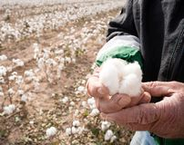 Farmer`s Weather Hands Hold Cotton Boll Checking Harvest Stock Photos