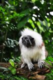 Cotton Head Tamarin Monkey on Tree Stock Photos