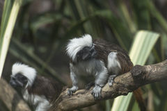 Cotton-headed Tamarin (Saguinus oedipus) Stock Photography