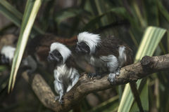 Cotton-headed Tamarins (Saguinus oedipus) Stock Images