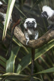 Cotton-headed Tamarins (Saguinus oedipus) Royalty Free Stock Images