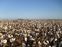 Cotton Stock Photos