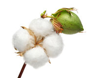 Cotton Royalty Free Stock Photos