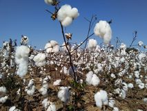 Cotton in late October Stock Photo