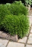 Cotton lavender green Stock Photo