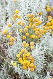 Cotton lavender plant in bloom. Photo of cotton lavender plant producing yellow buds on tall stalks already in bloom stock image