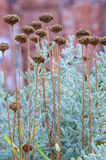 Cotton lavender Santolina chamaecyparissus plant background Royalty Free Stock Image