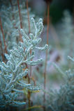 Cotton lavender Santolina chamaecyparissus plant background Stock Photos