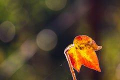 Cotton leaf Royalty Free Stock Photo