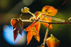 Cotton leaf Stock Photography