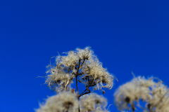 Cotton-like efflorescence. Withered efflorescence against blue sky Stock Photography