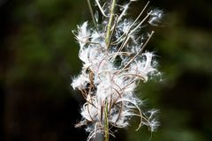 Cotton like plant with seeds blowing away on a green background. That blurs Royalty Free Stock Image