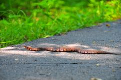 Cotton mouth water moccasin pit viper snake Agkistrodon piscivo. Red and brown banded cottonmouth snakes or water moccasins Agkistrodon piscivorus is highly Stock Photos