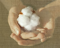 Cotton 1oo percent creative concept. Child hands holding cotton flower Royalty Free Stock Image