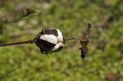 Cotton Outdoor Day Field Plant Royalty Free Stock Photo