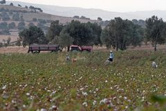 Cotton picker at work in Turkey Royalty Free Stock Image