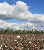 Cotton Pickin'. Agricultural worker inspecting a crop of cotton Royalty Free Stock Image
