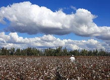Cotton Pickin'. Inspecting a crop of cotton Stock Photography