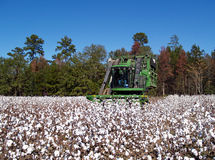 Cotton Picking. A cotton picker following the rows and picking cotton Royalty Free Stock Photo