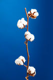 Cotton plant. Isolated over a blue background Stock Images