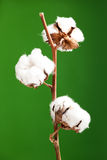 Cotton plant. Isolated over a green background Royalty Free Stock Images