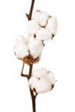Cotton plant. On a white background Stock Photo