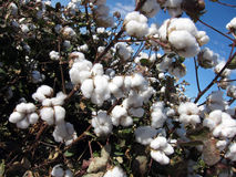 Cotton Plant Stock Photo
