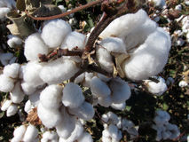 Cotton Plant. S in a field against a blue sky Stock Photography