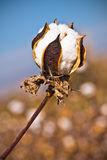 Cotton plant. Half opened white cotton flower closeup, with cotton field, and blue sky in blurred background, cotton flower details Stock Photos