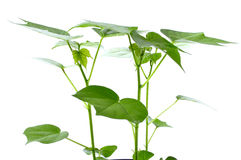 Cotton plant. Beautiful green leaves of cotton plant on white background Royalty Free Stock Photos