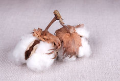 Cotton plant Royalty Free Stock Photography