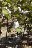Cotton plant Stock Photography