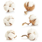 Cotton plant. Over white background collage Royalty Free Stock Photos