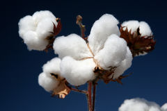 Cotton plant. In contrast with blue sky Royalty Free Stock Photos