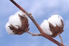 Cotton plant on blue background . Macro image Stock Photo