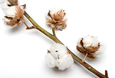 Cotton plant with bolls. Isolated on a white background Stock Images