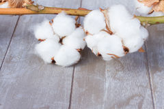 Cotton plant bud Royalty Free Stock Photo