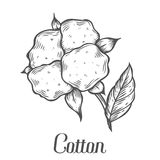 Cotton plant, bud, leaf, plant, branch. Hand drawn engraved vector sketch. Ink illustration. Ingredient for fabric, treatment, cosmetics. Retro vintage Black on Royalty Free Stock Photography