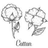 Cotton plant, bud, leaf, plant, branch. Hand drawn engraved vector sketch ink illustration. Ingredient for fabric, treatment, cosmetics. Retro vintage Black on Royalty Free Stock Images