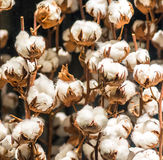 Cotton Plant With Buds. Cotton Plant with Lots of Buds Stock Images