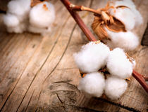 Cotton plant buds over wood royalty free stock photo