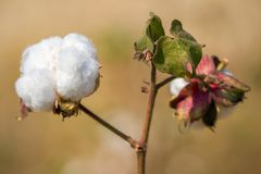 Cotton plant close-up Royalty Free Stock Images