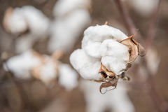 Cotton Plant Stock Photos